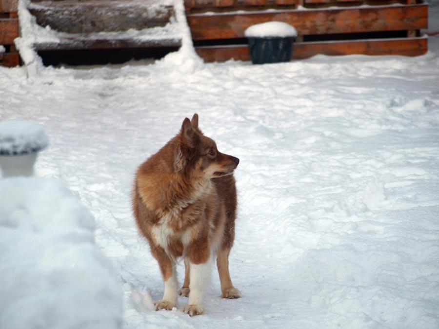 finsk lapphund viltfarget